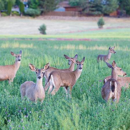 shaktivating-retreat-mount-shasta-goddess-deer-nature